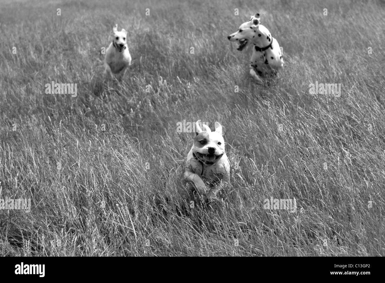 Three dogs running through long grass - Stock Image