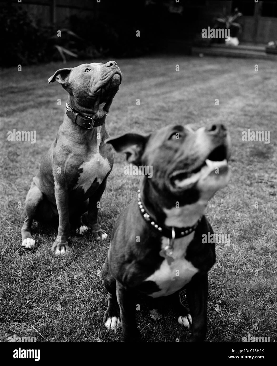 Two Staffordshire bull terriers sitting in a garden - Stock Image