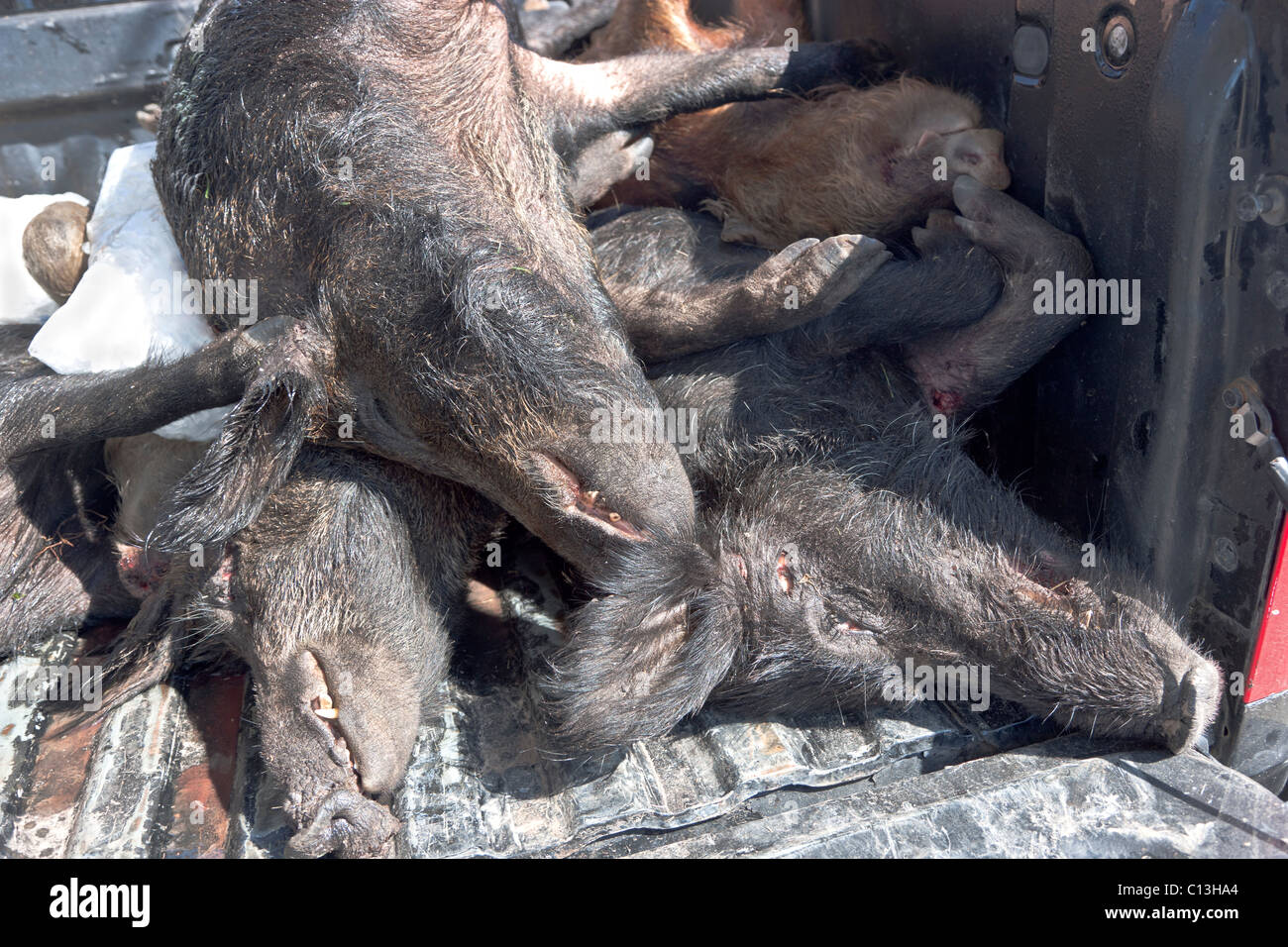 Feral hogs, bagged, Stock Photo