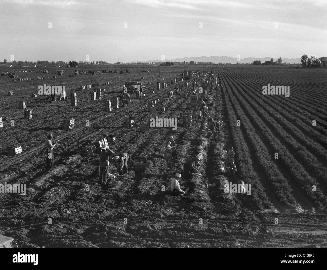 Gang labor of Mexicans and white Americans on a large carrot truck farm in California's Imperial Valley. Because - Stock Image
