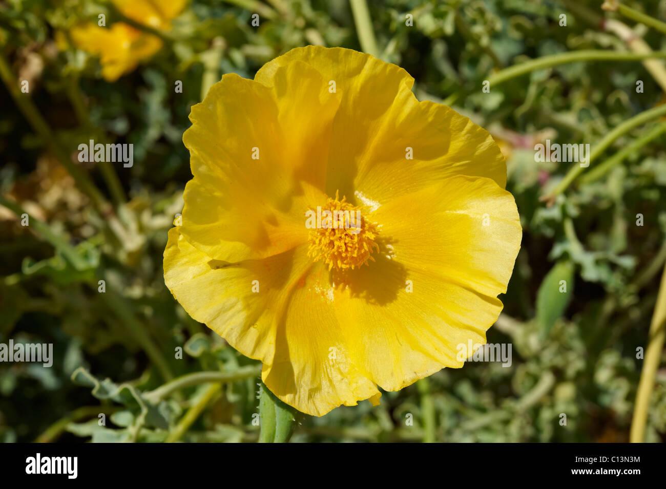 Yellow horned Poppy, Glaucium Flavium , Syros Greece - Stock Image
