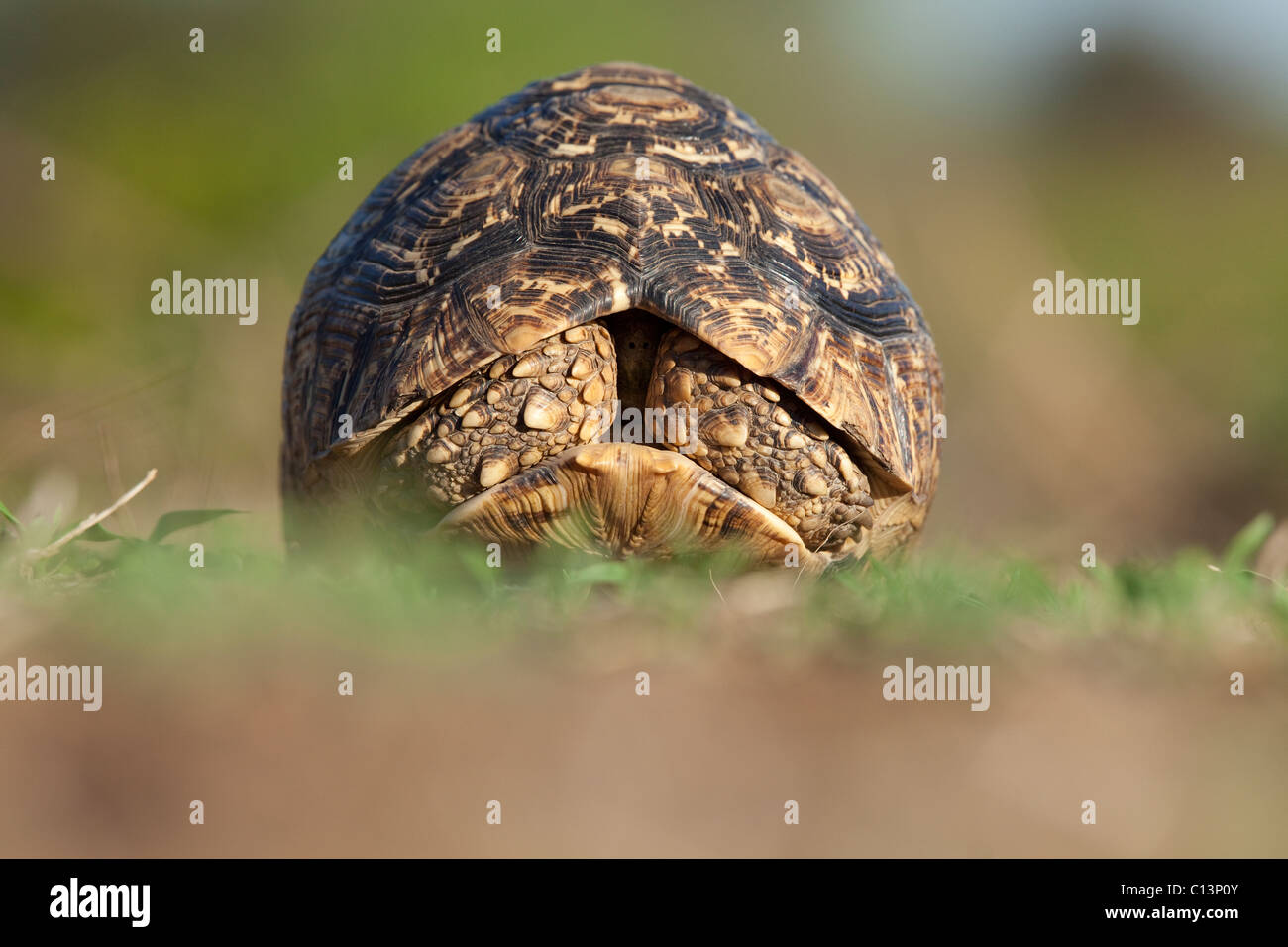 Leopard Tortoise (Stigmochelys Pardalis). With retracted front legs. - Stock Image