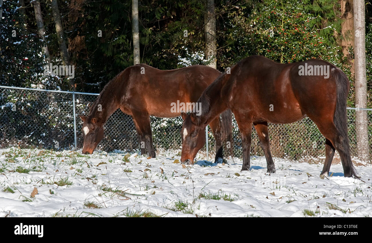 This image is 2 bay thoroughbred horses grazing in a pasture covered with freshly fallen snow. - Stock Image
