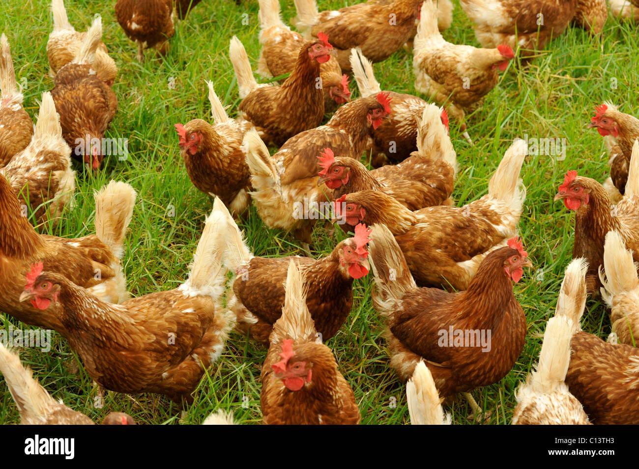 Free-range chickens - Stock Image
