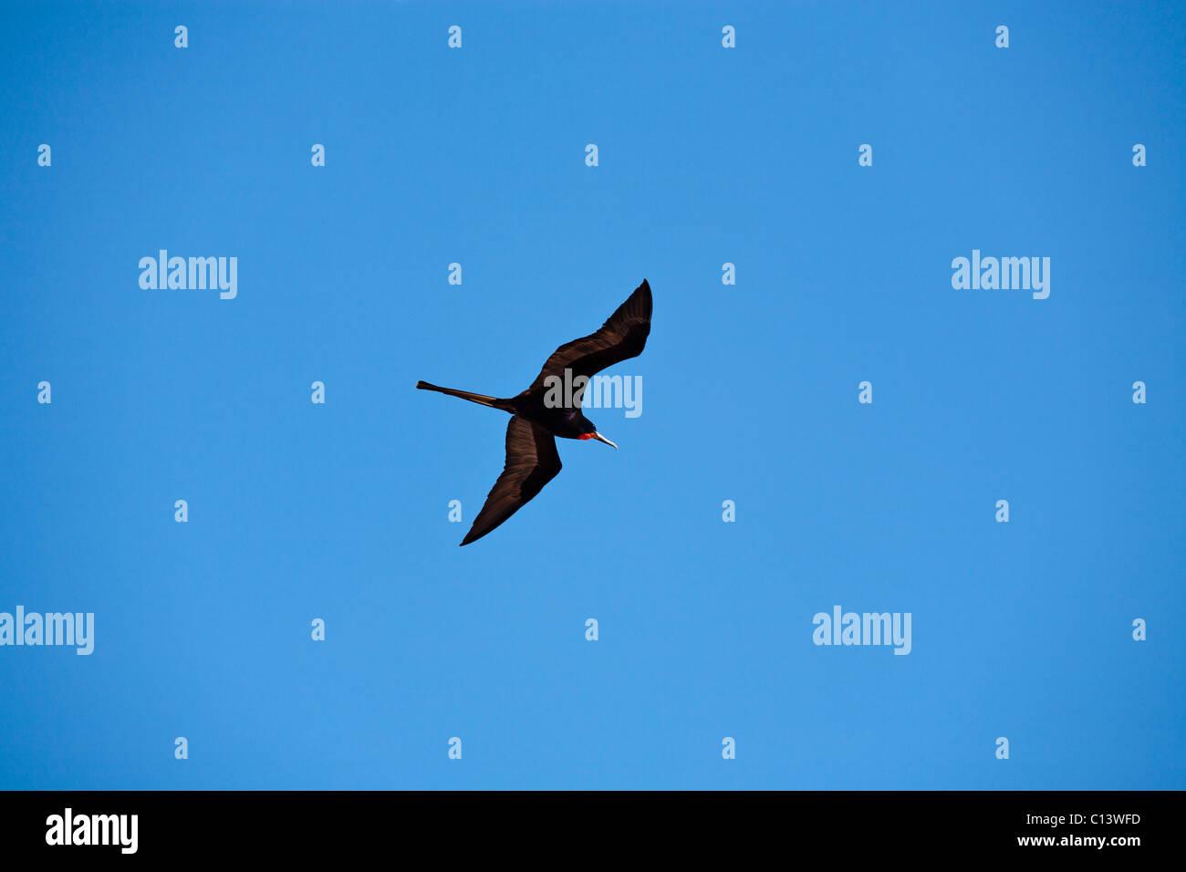 Magnificent Frigatebird Flying High. A Magnificent Frigatebird glides through a perfect blue sky. Stock Photo