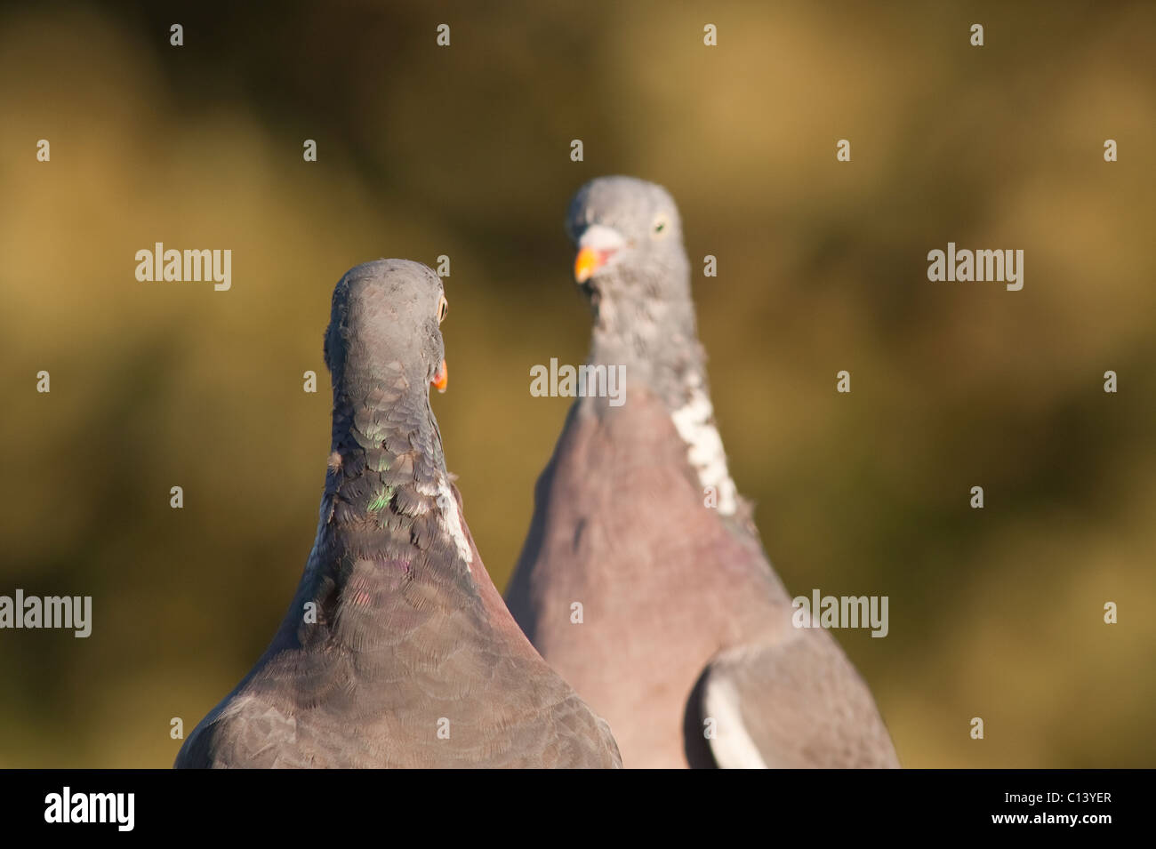 A pair of Woodpigeon (Columba palumbus) squaring up to one another squabling over food in the uk - Stock Image
