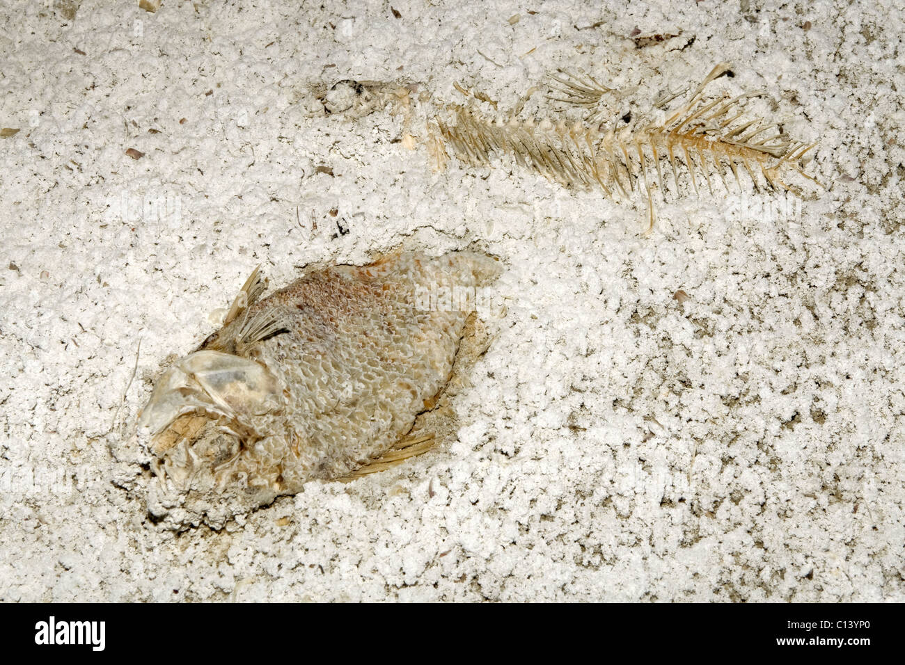 Fish skeletons in the sediment of the Salton Sea, California. - Stock Image