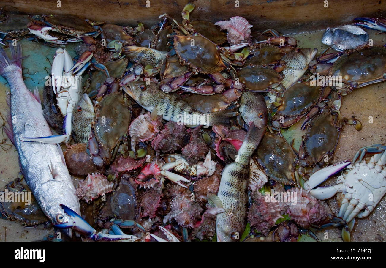 Catch of the day from a crab fisherman in Kino Bay, Mexico. - Stock Image