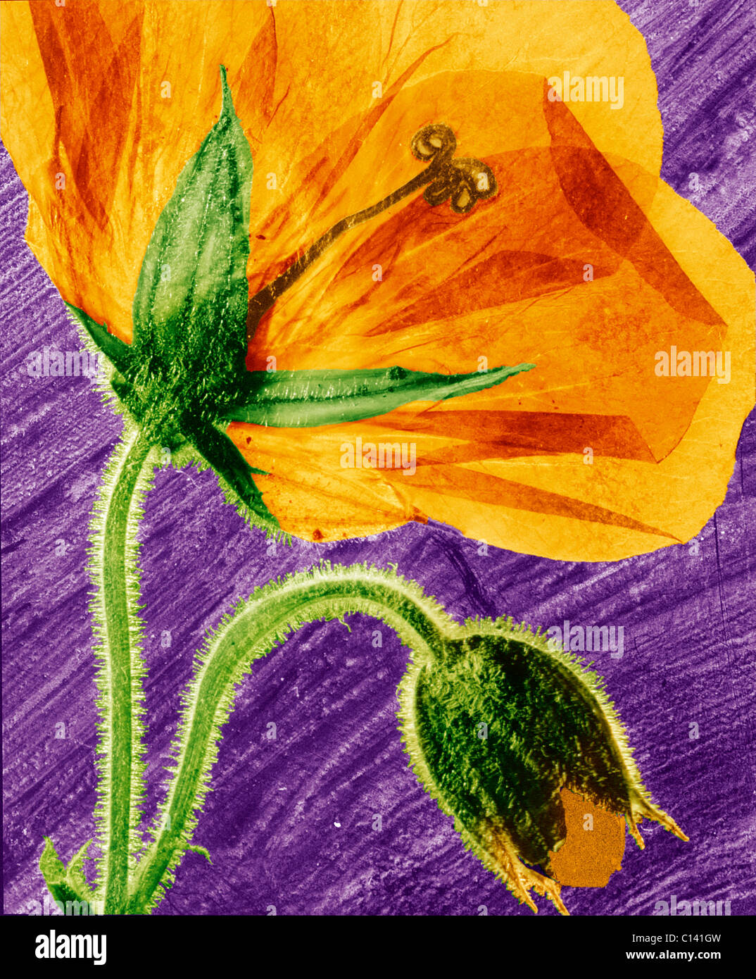 hand coloured pressed geranium flower - Stock Image