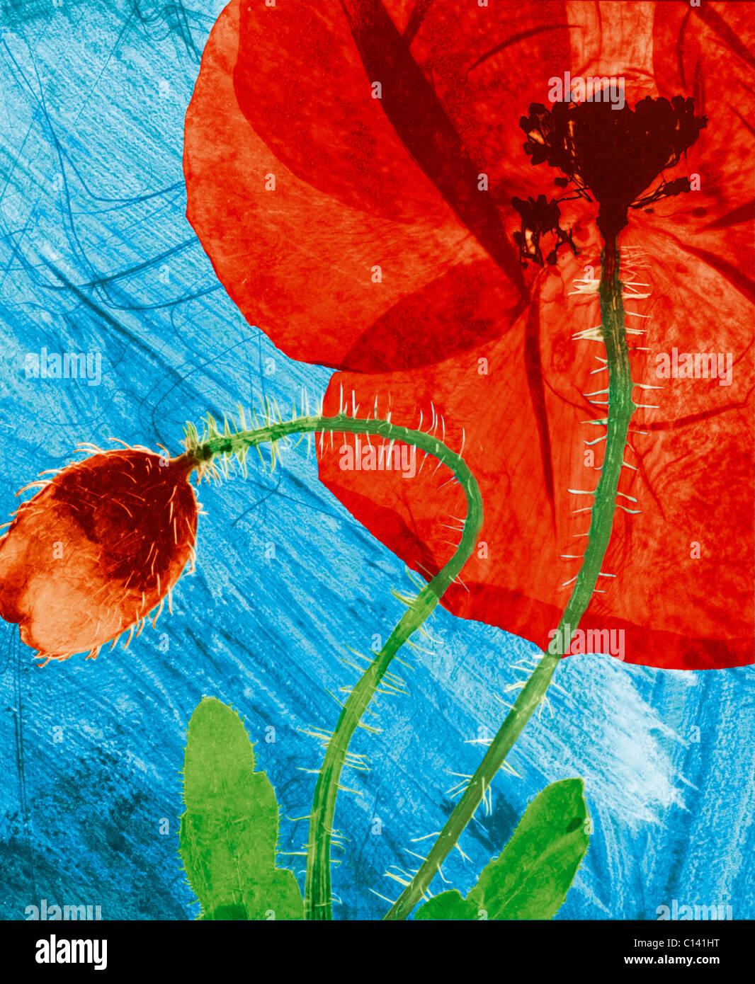 hand coloured pressed wild field poppy flower - Stock Image