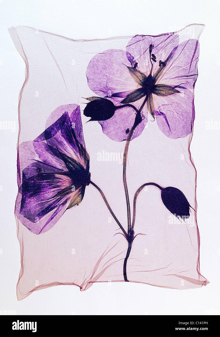 Pressed geranium ( Meadow Cranesbill ) - Wild flowers - Polaroid lift. - Stock Image