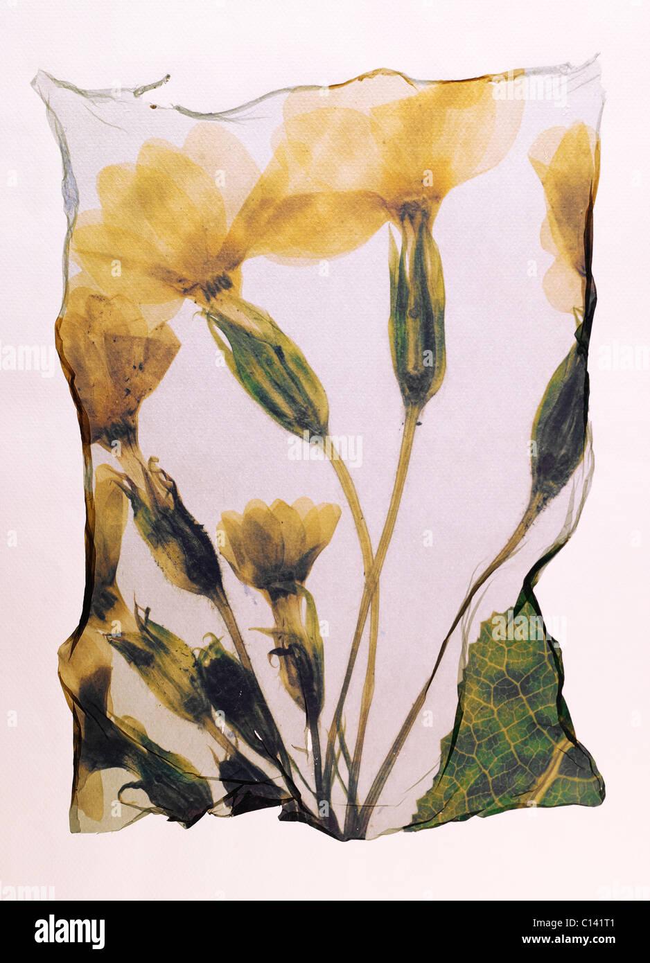 Pressed Primrose ( Primula Vulgaris )- Wild flowers - Polaroid lift. - Stock Image