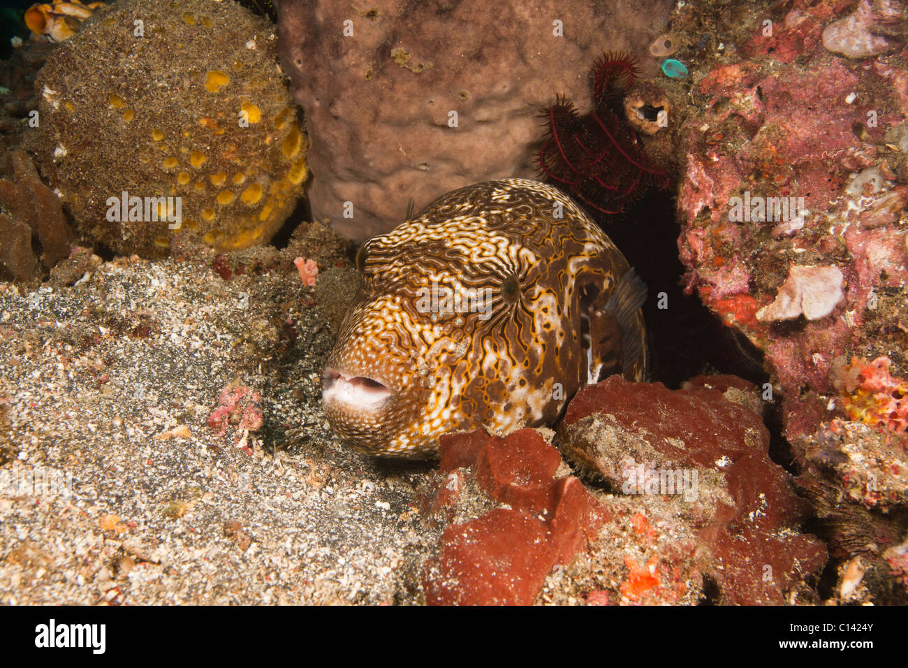 Map Puffer (Arothron mappa) on a tropical coral reef in the Lembeh Strait in North Sulawesi, Indonesia. Stock Photo
