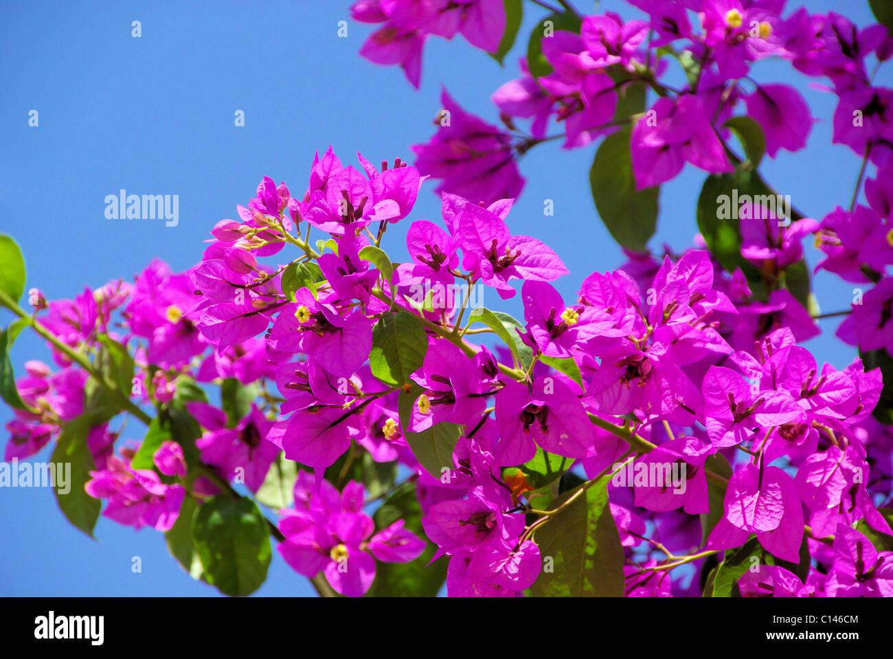 Bougainvillea 20 - Stock Image