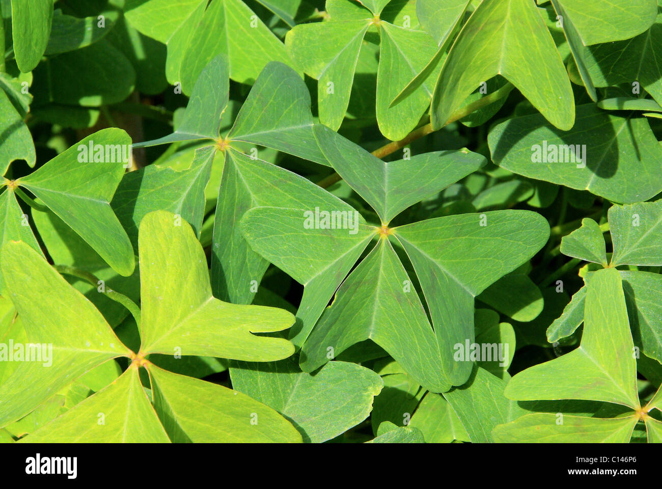 Glücksklee - four leafed clover 17 Stock Photo