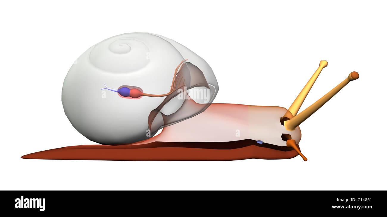snail anatomy heart circulation transparent body - Stock Image