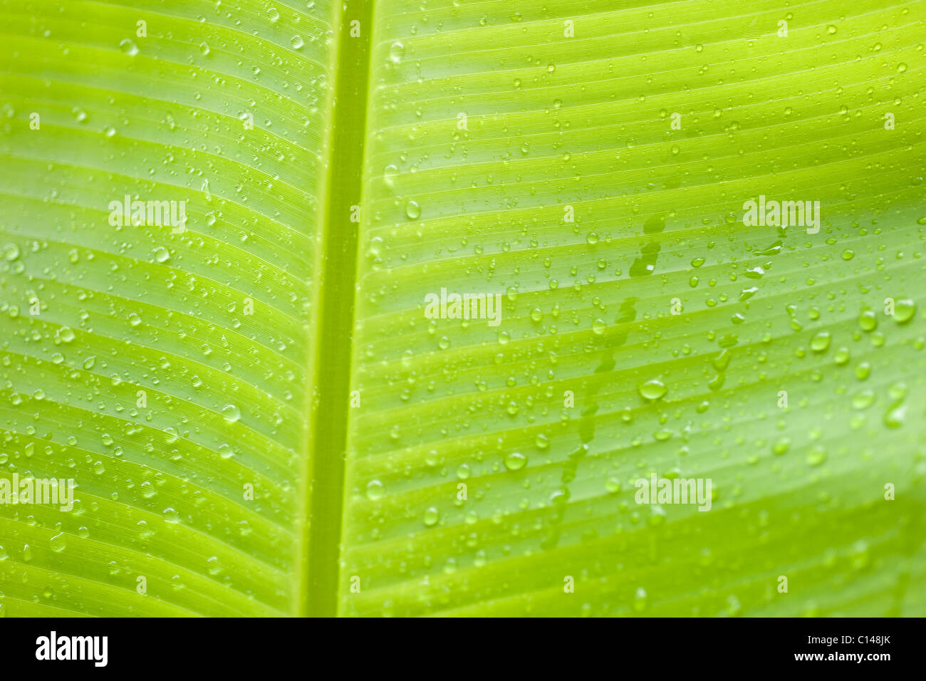 Close up of banana leaf, Amazon Rainforest, South America - Stock Image