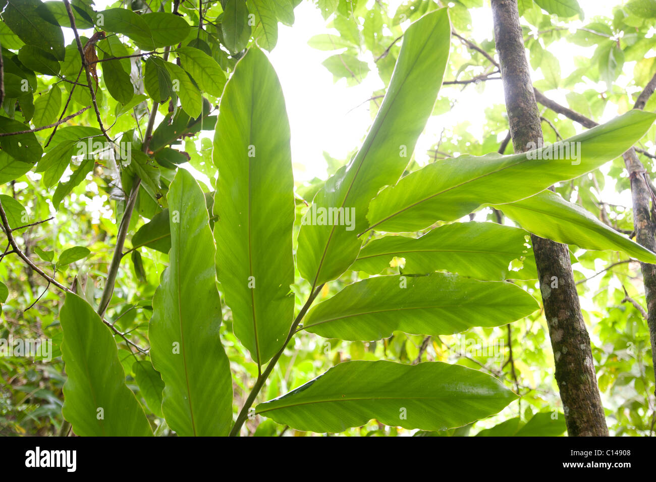 Leaves in Rainforest, Amazon, Jungle, - Stock Image