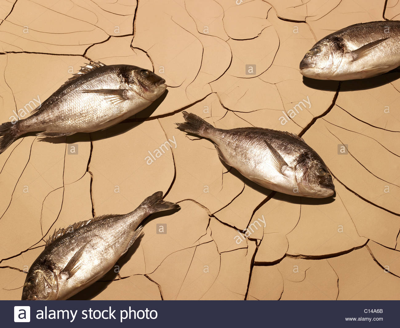 Dead fish laying on cracked mud - Stock Image