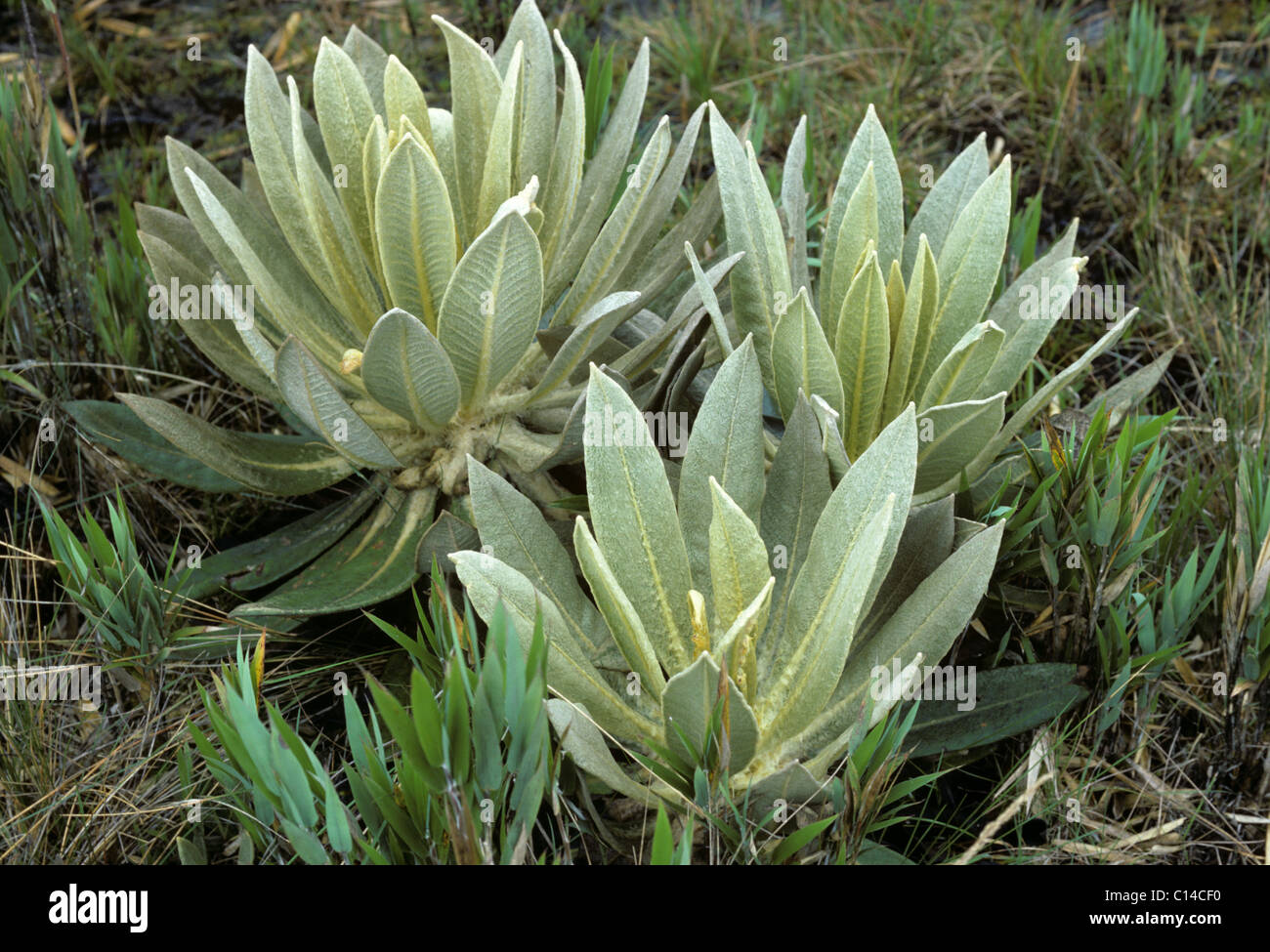 Frailejon (Espeletia schultzii) plants at 4800 metres in the Andes, Colombia - Stock Image