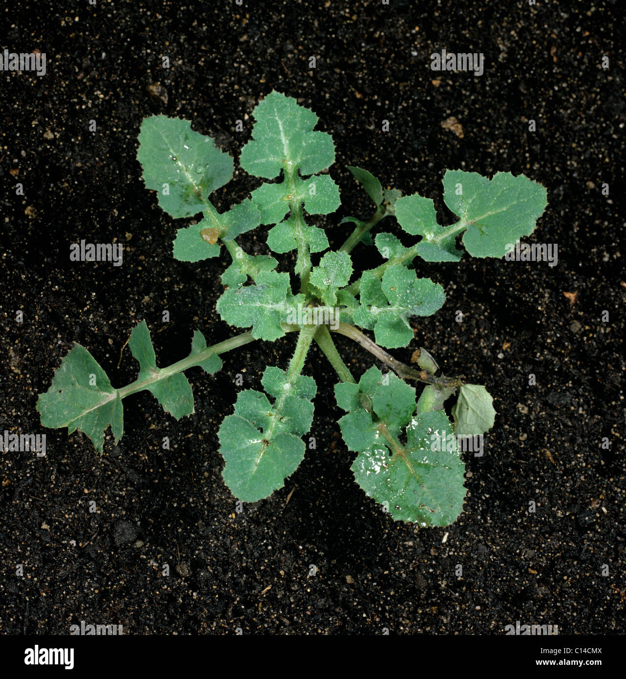 Smooth sow-thistle (Sonchus oleraceus) young plant leaf rosette - Stock Image