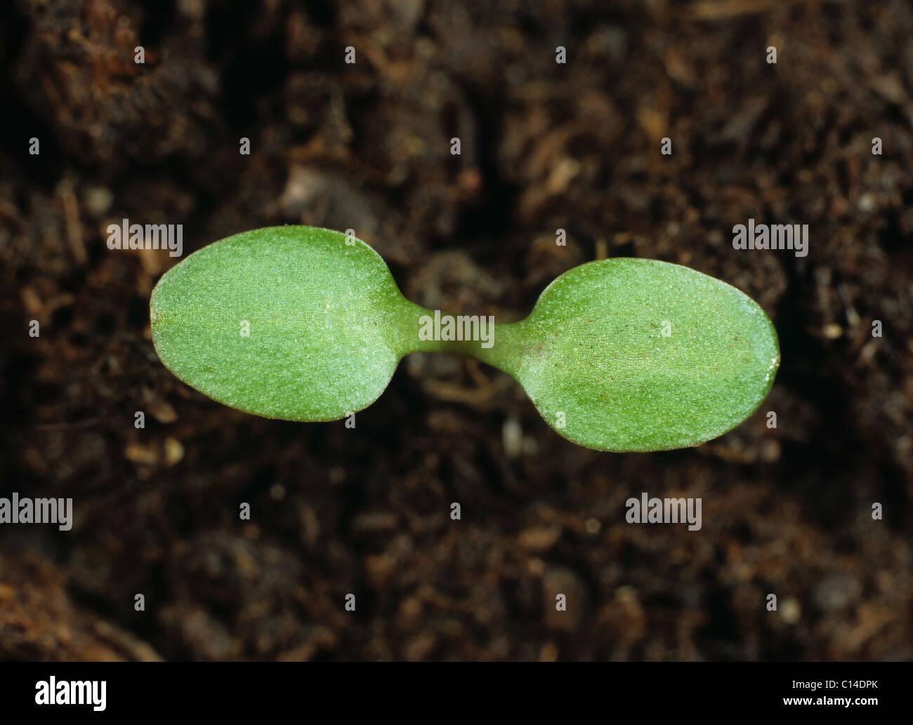 Nipplewort (Lapsana communis) seedling cotyledons only - Stock Image