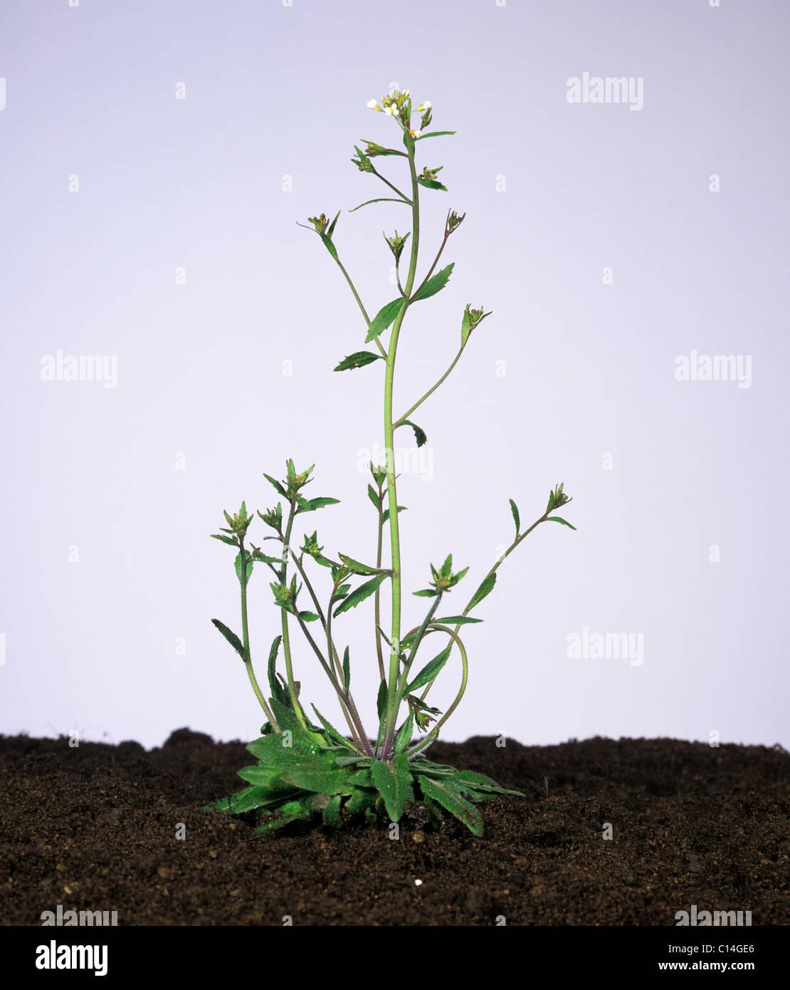 Thale cress (Arabidopsis thaliana) flowering plant - Stock Image