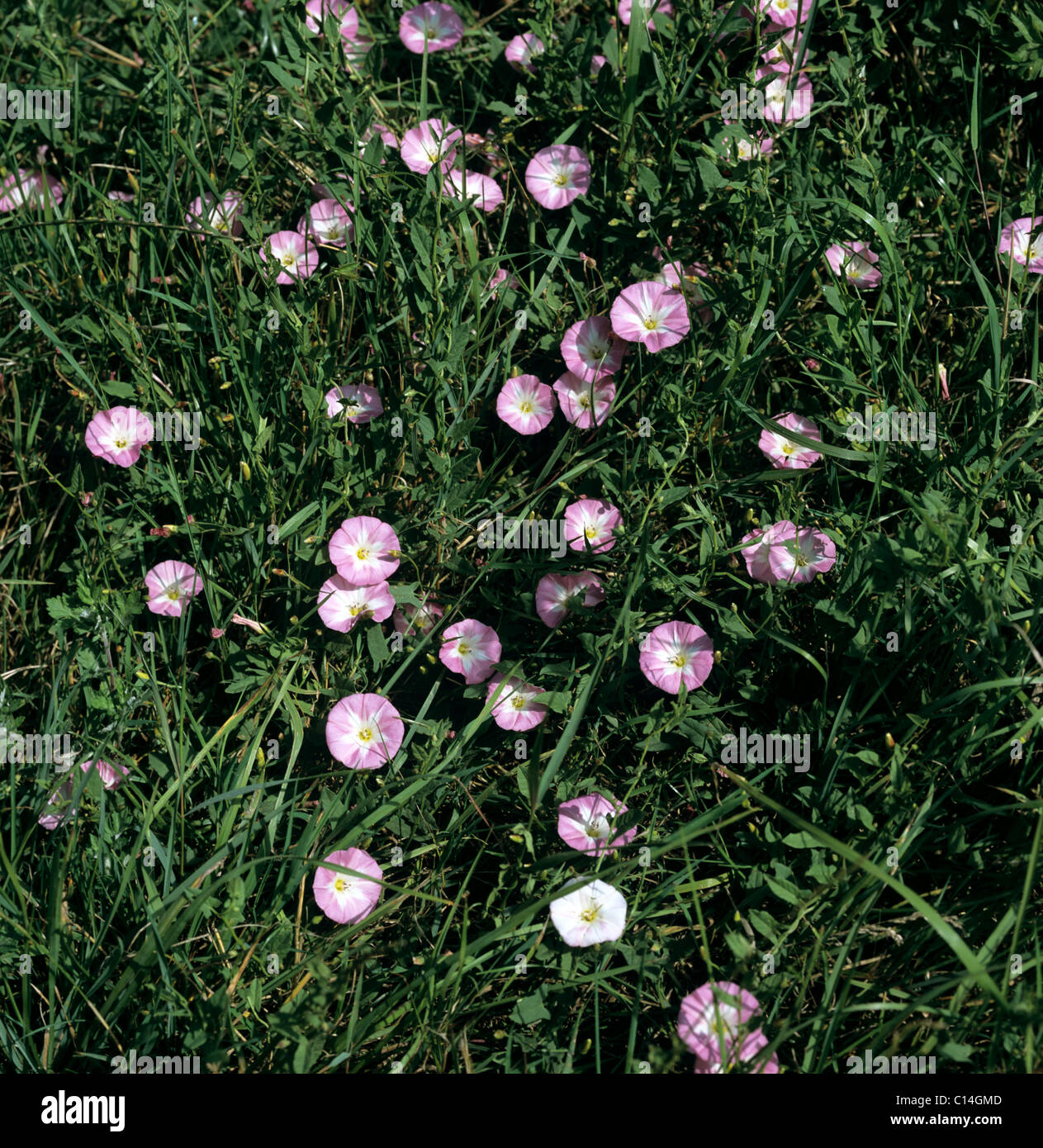 Field bindweed (Convolvulus arvensis) plants flowering in grassland - Stock Image