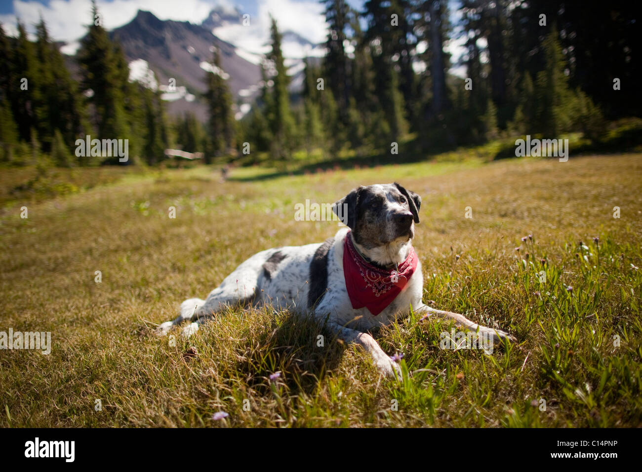 A dog rests after hiking to Jefferson Park in the North Oregon Cascades in September, 2010. Mt. Jefferson is pictured - Stock Image