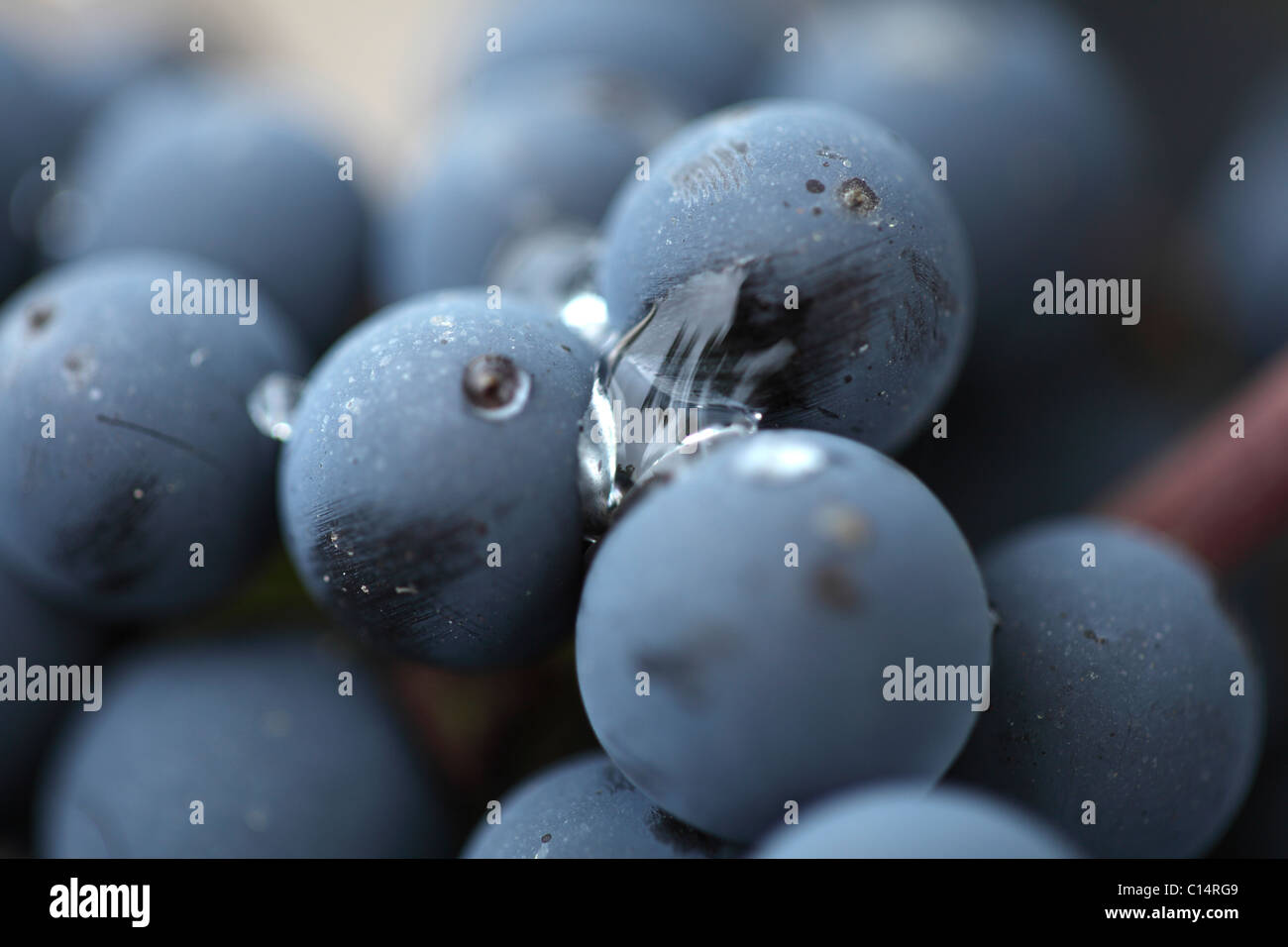 Red Cabernet Sauvignon grapes in Bordeaux - Stock Image