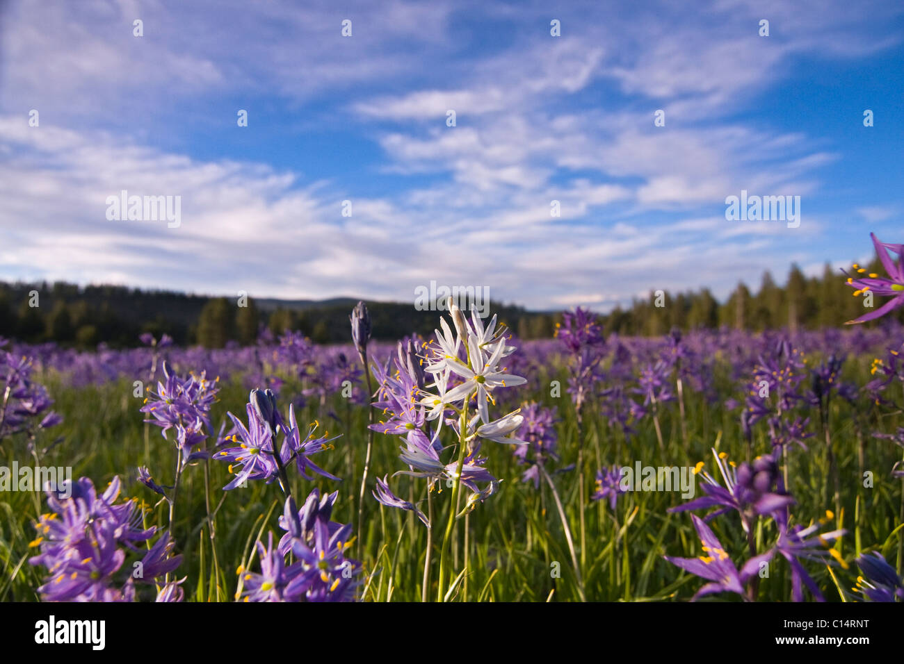 A single white Camas Lily flower in a field of purple flowers at Sagehen Meadows near Truckee in California - Stock Image