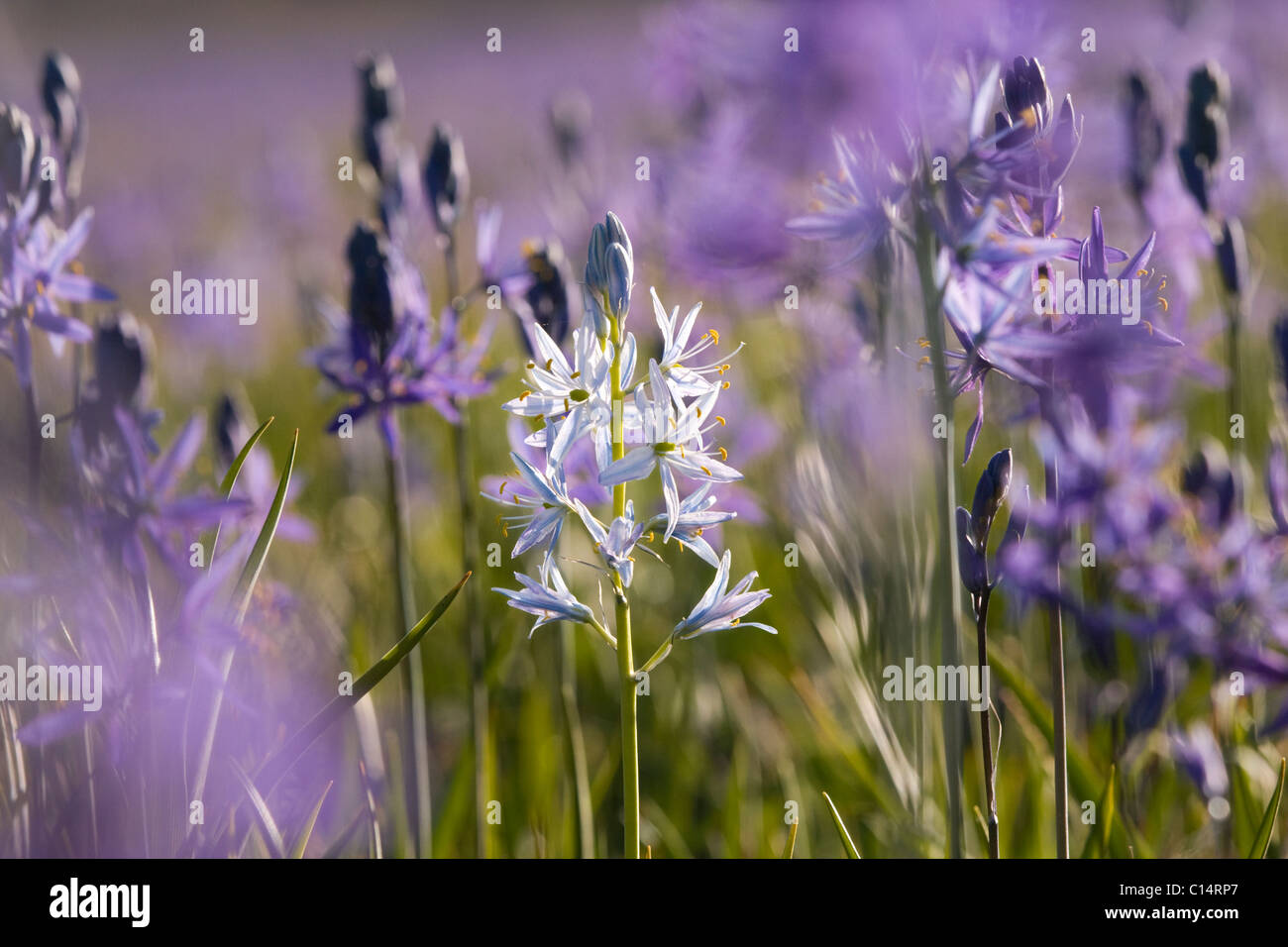 A closeup photo of a single white Camas Lily in a field of purple Camas Lilys in Sagehen Meadow near Truckee in - Stock Image