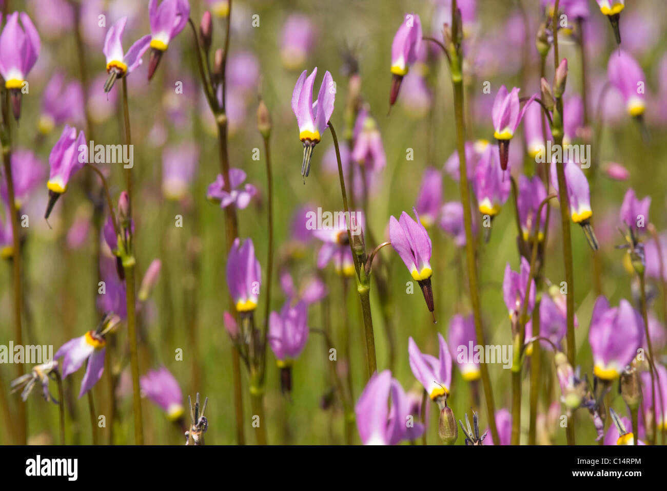A closeup of pink Shooting Star flowers in a meadow near Lake Tahoe in California - Stock Image