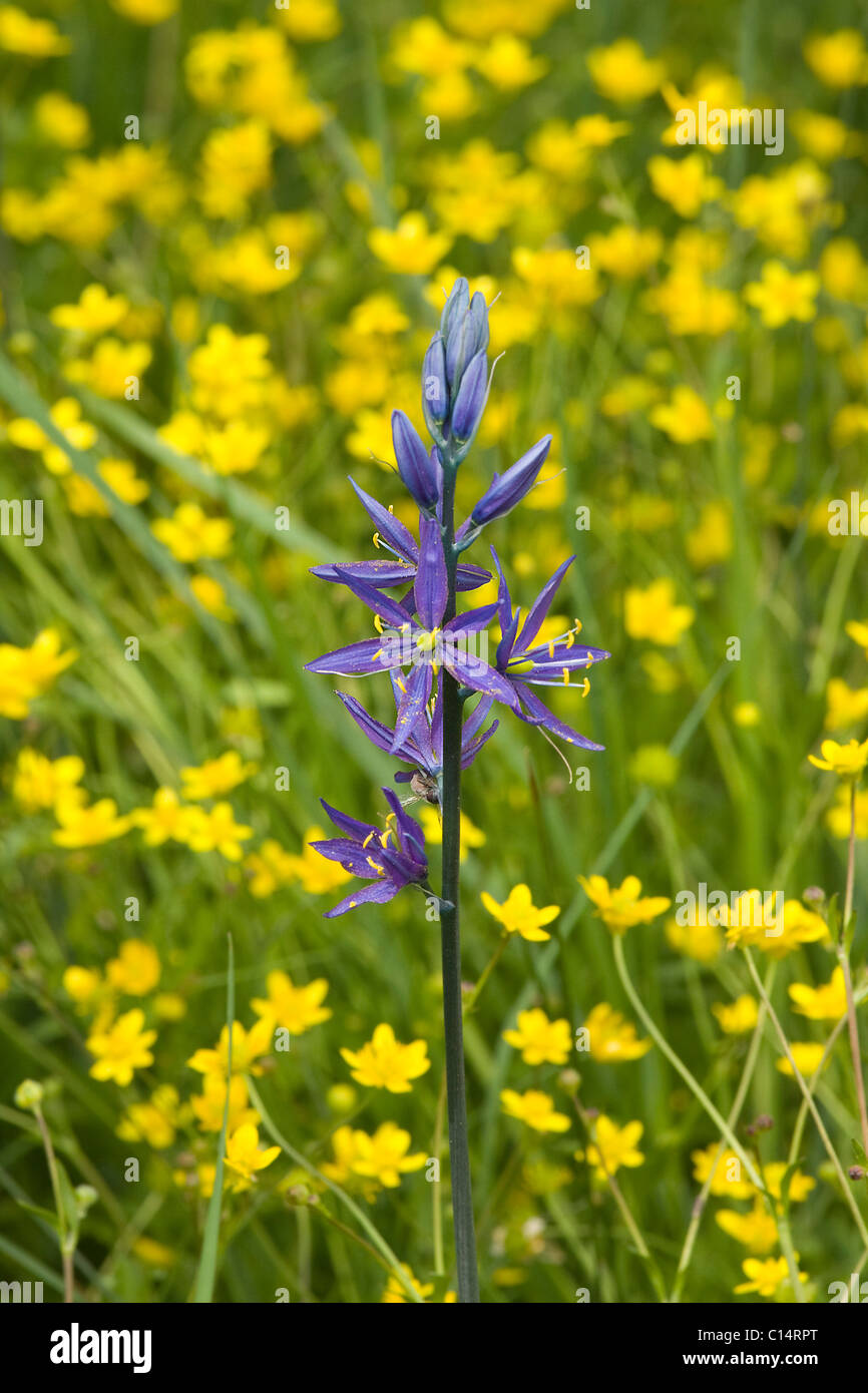 A single purple Camis Lily flower in a field of yellow Buttercups - Stock Image