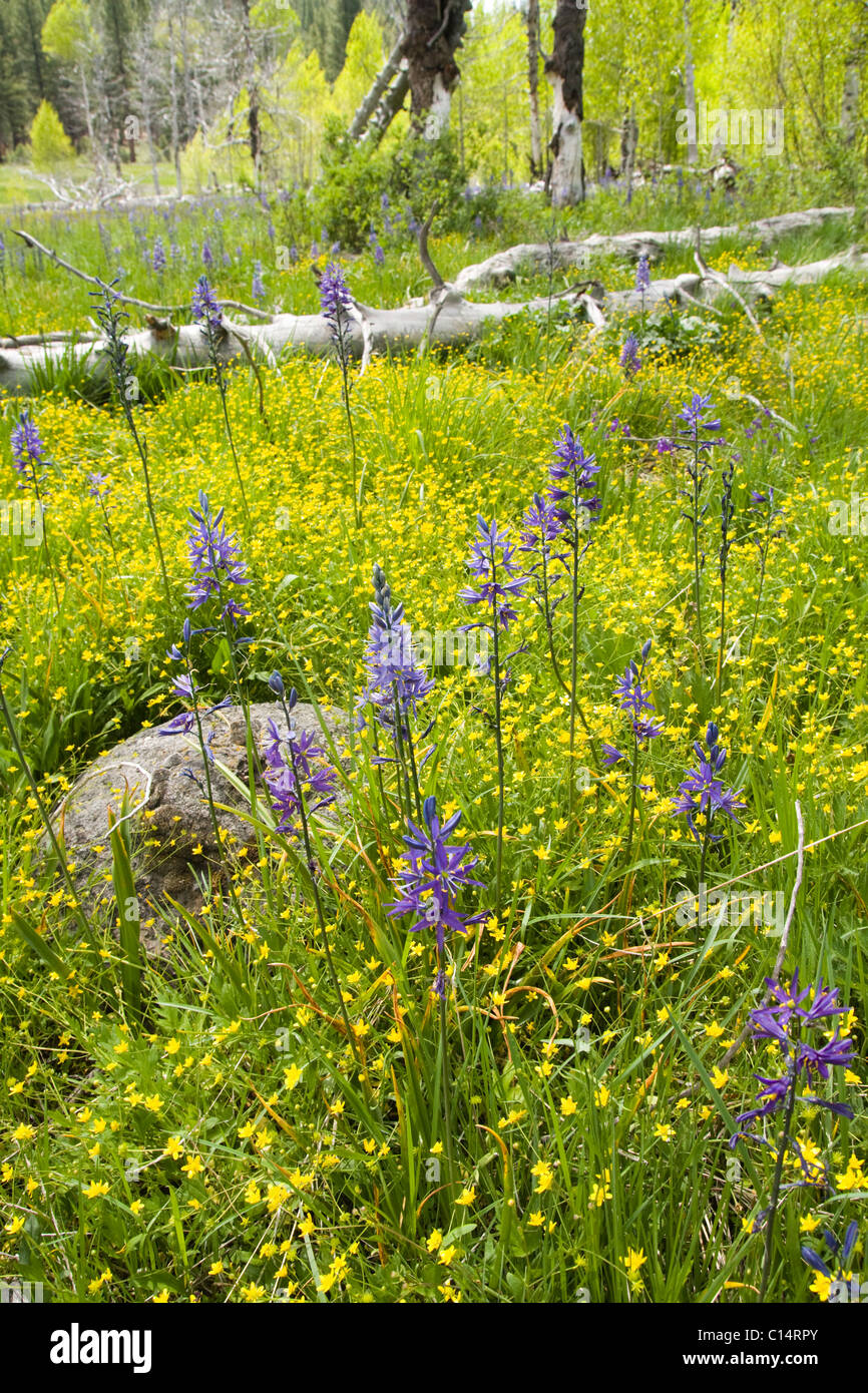 Purple Camis Lily flowers in a meadow surrounded by yellow Buttercups - Stock Image