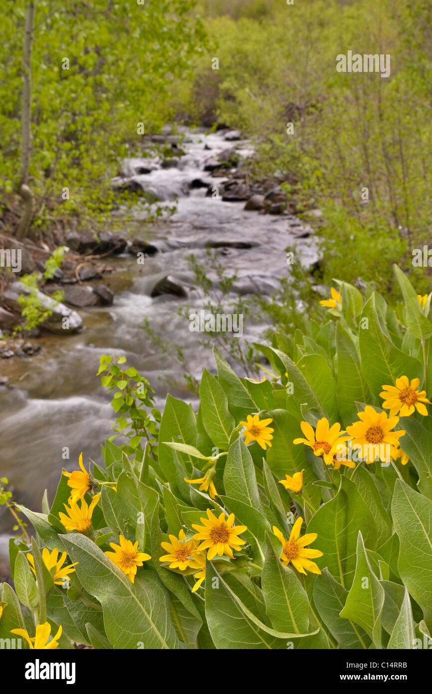 A mountain stream in the Sierras of California flowing past yellow Mules Ears flowers in the spring - Stock Image