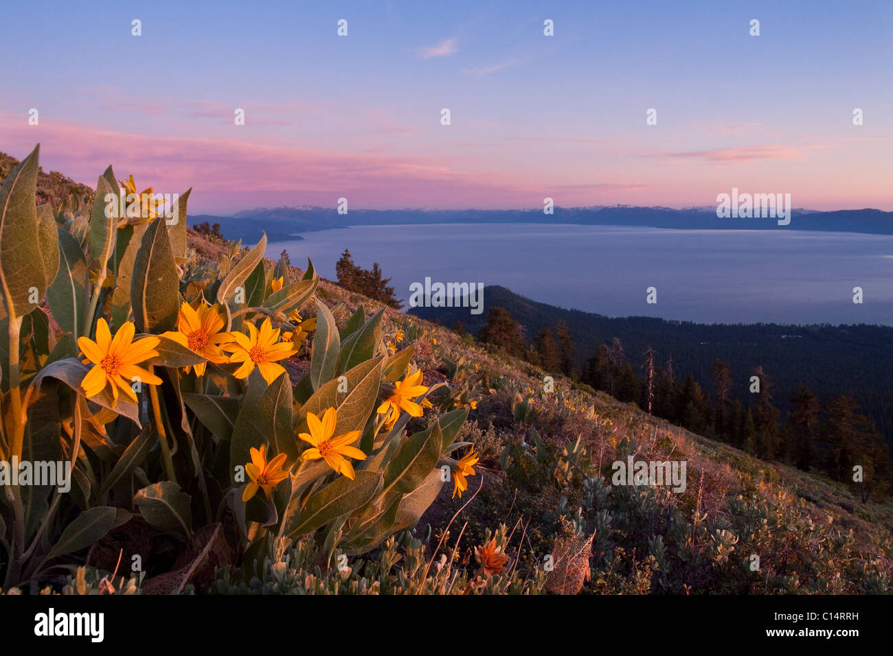 Sunset and yellow Mules Ears flowers above Lake Tahoe in California Stock Photo