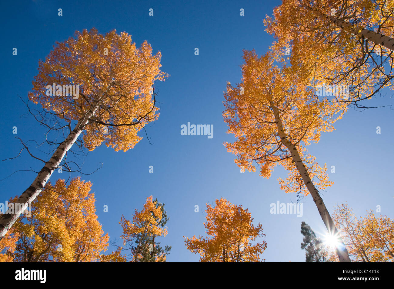 Yellow aspen trees in the fall against a blue sky with a sunburst near Tahoe City near Lake Tahoe in California - Stock Image