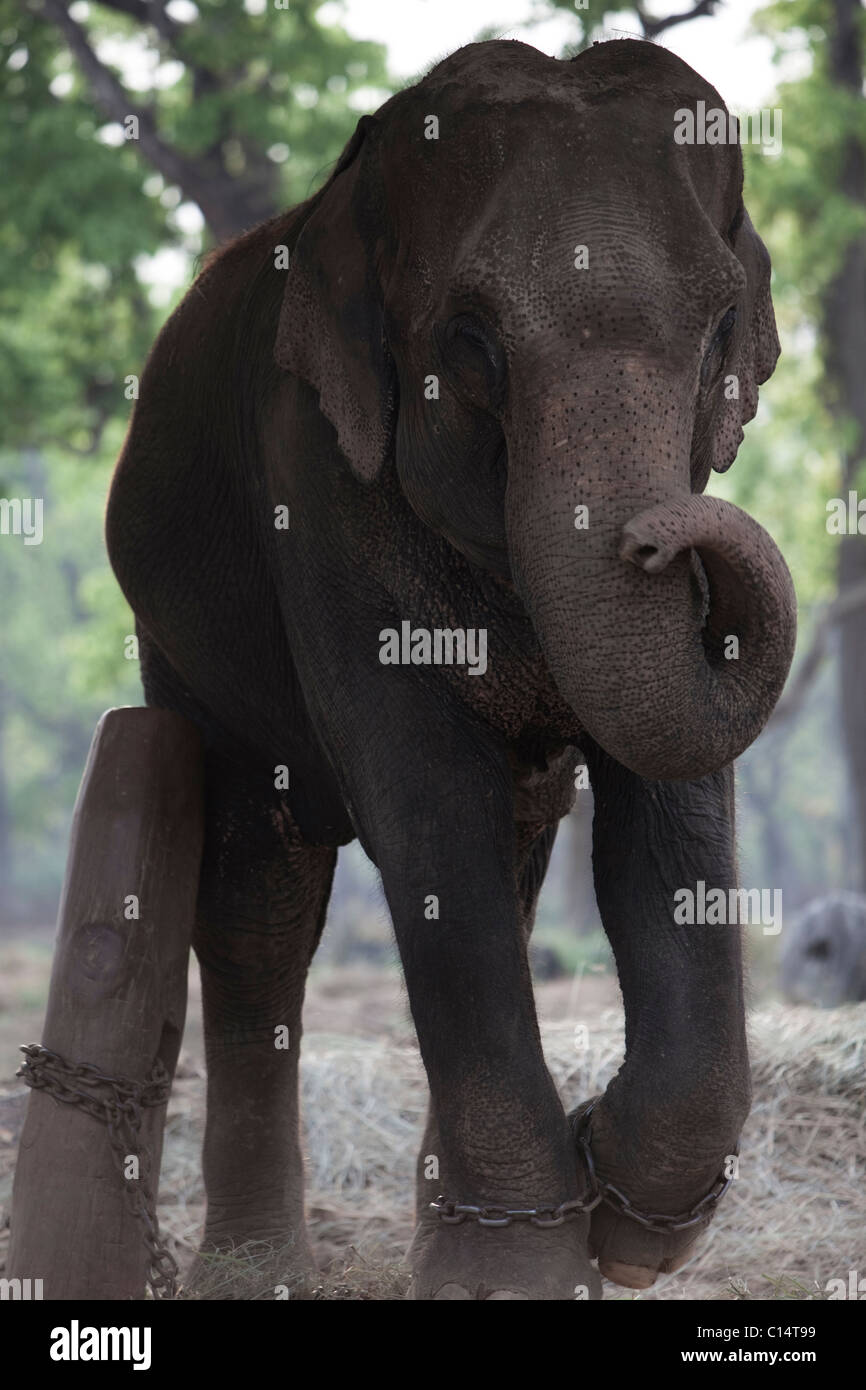 A chained, female elephant at the Elephant Breeding Centre in Chitwan, Nepal. Stock Photo