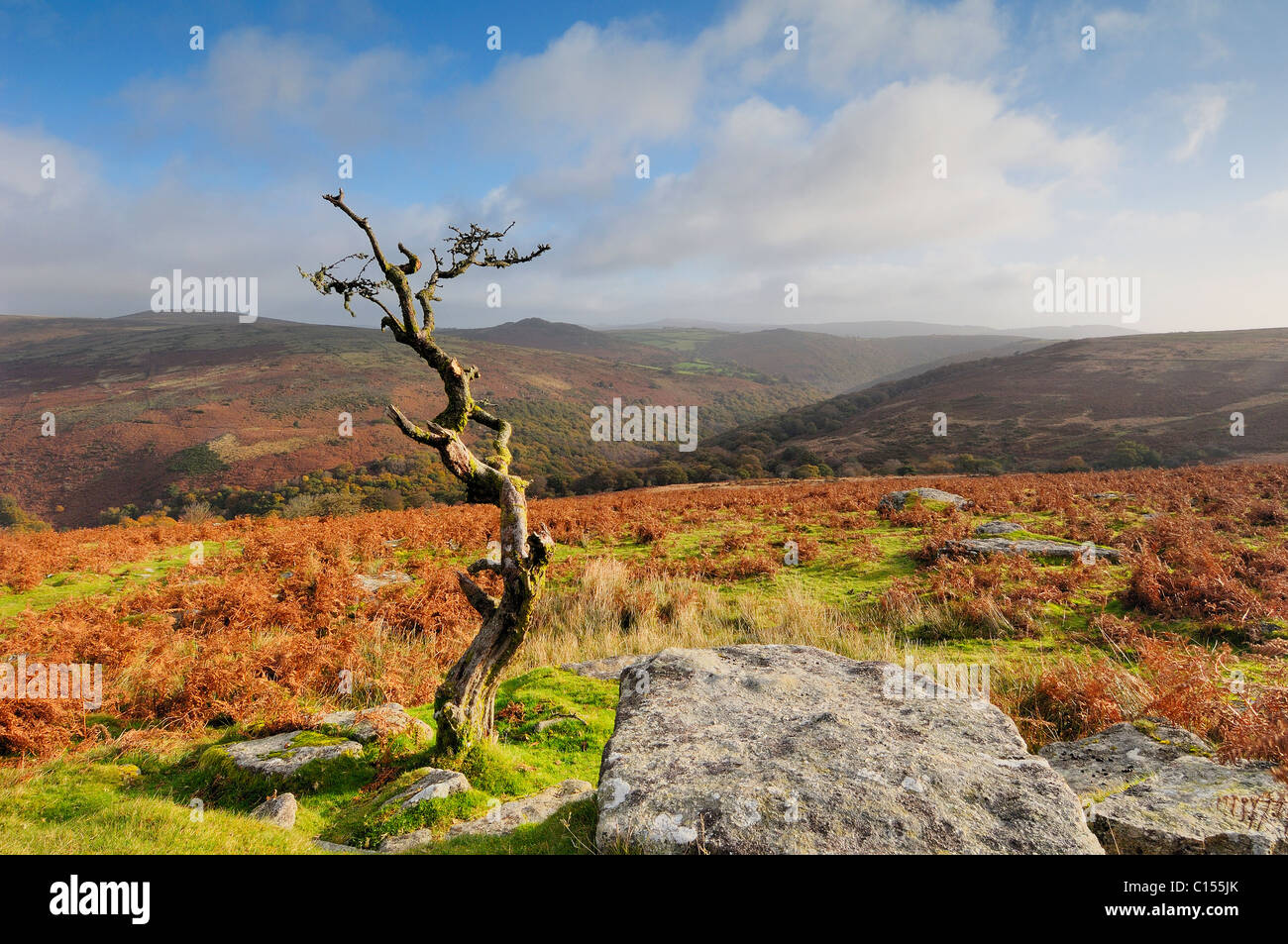 Withered Hawthorn Tree at Combestone Tor - Stock Image