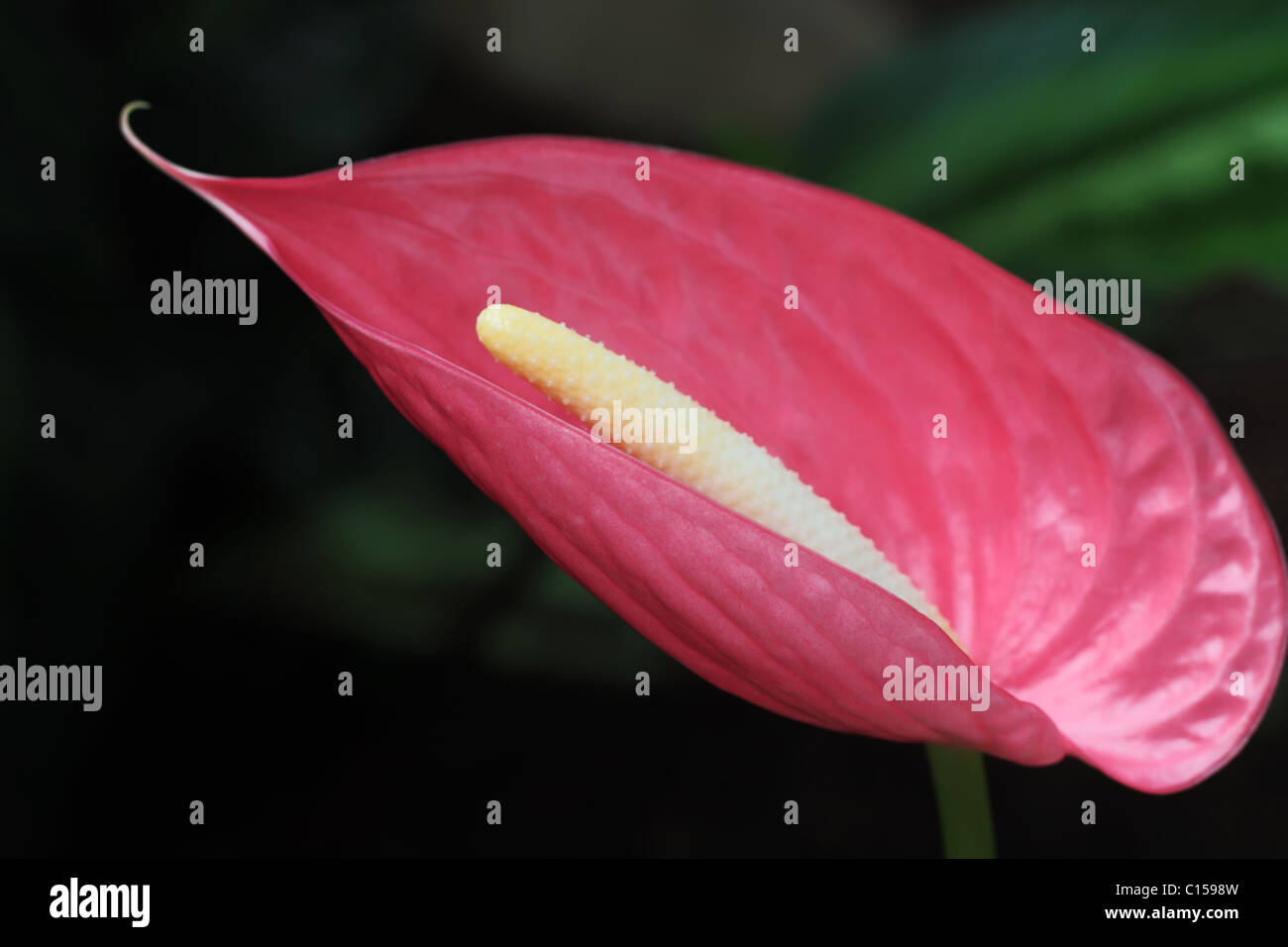 Large Pink Peace Lily Stock Photos \u0026 Large Pink Peace Lily