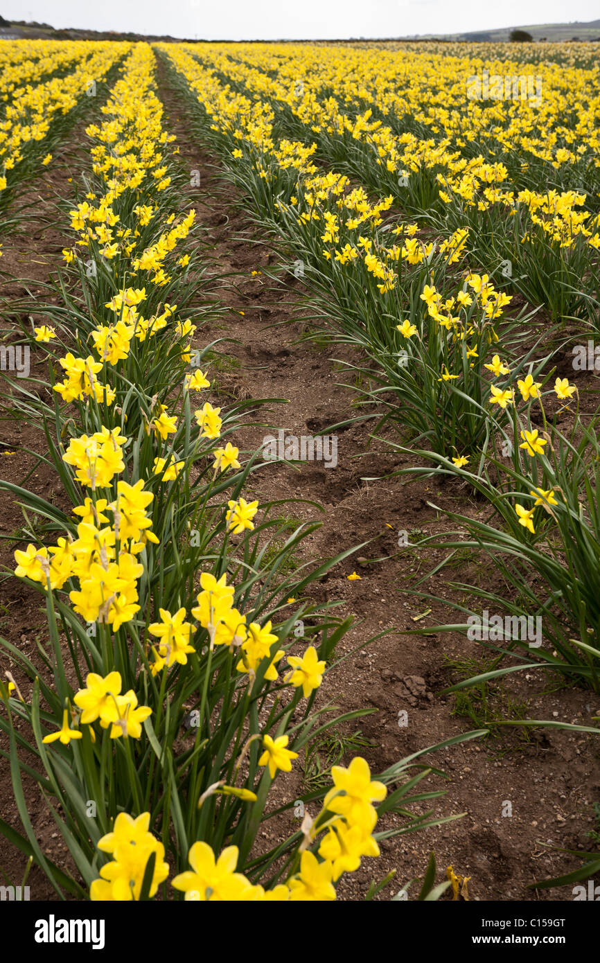 Narcissistic field of yellow daffodils stretching to the horizon . Rows and rows of yellow daffodils fill a field - Stock Image