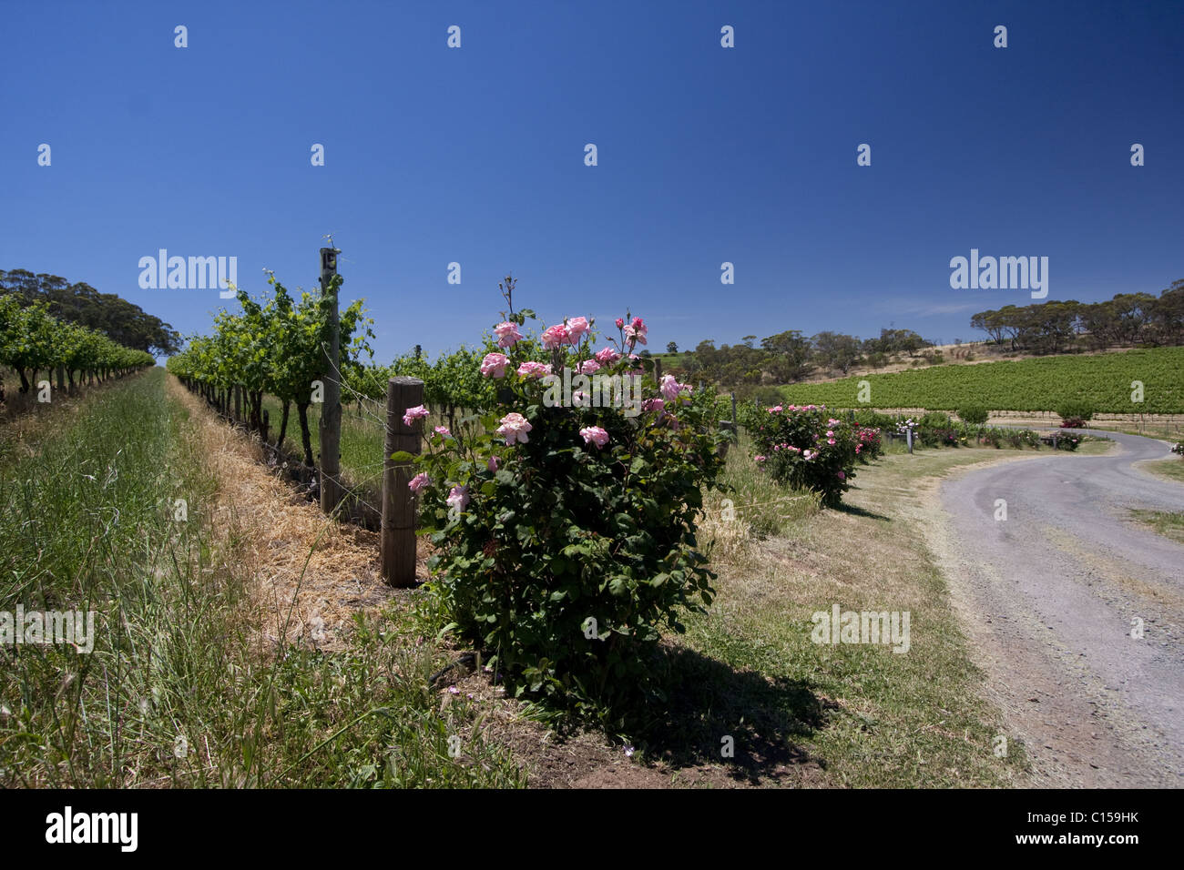 Rows of young grapevines growing in a vineyard in the McLaren Vale wine growing area of South Australia. Stock Photo