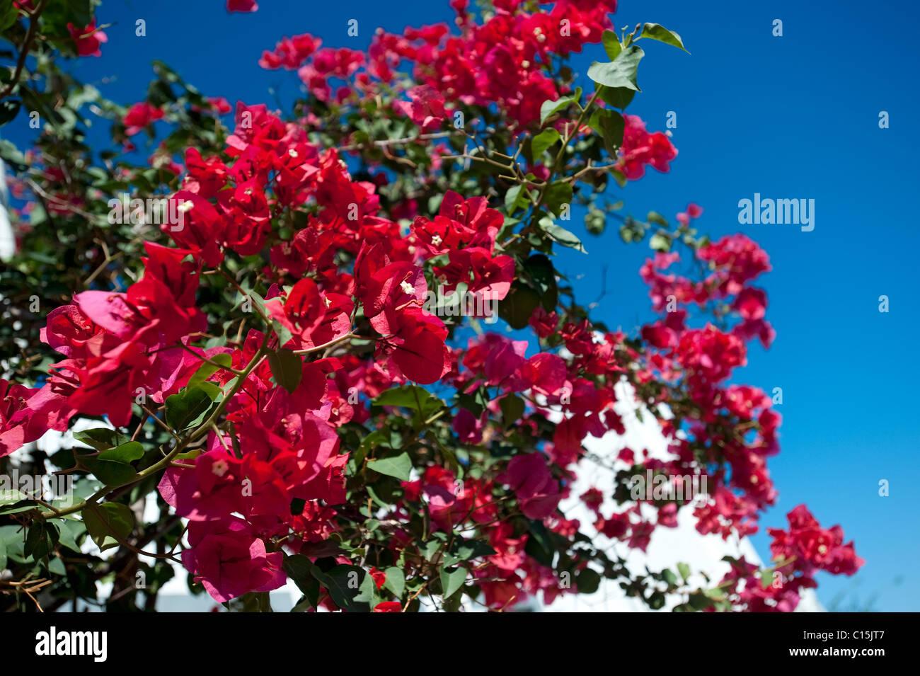 Bougainvillea on vine, Corfu, Greece - Stock Image