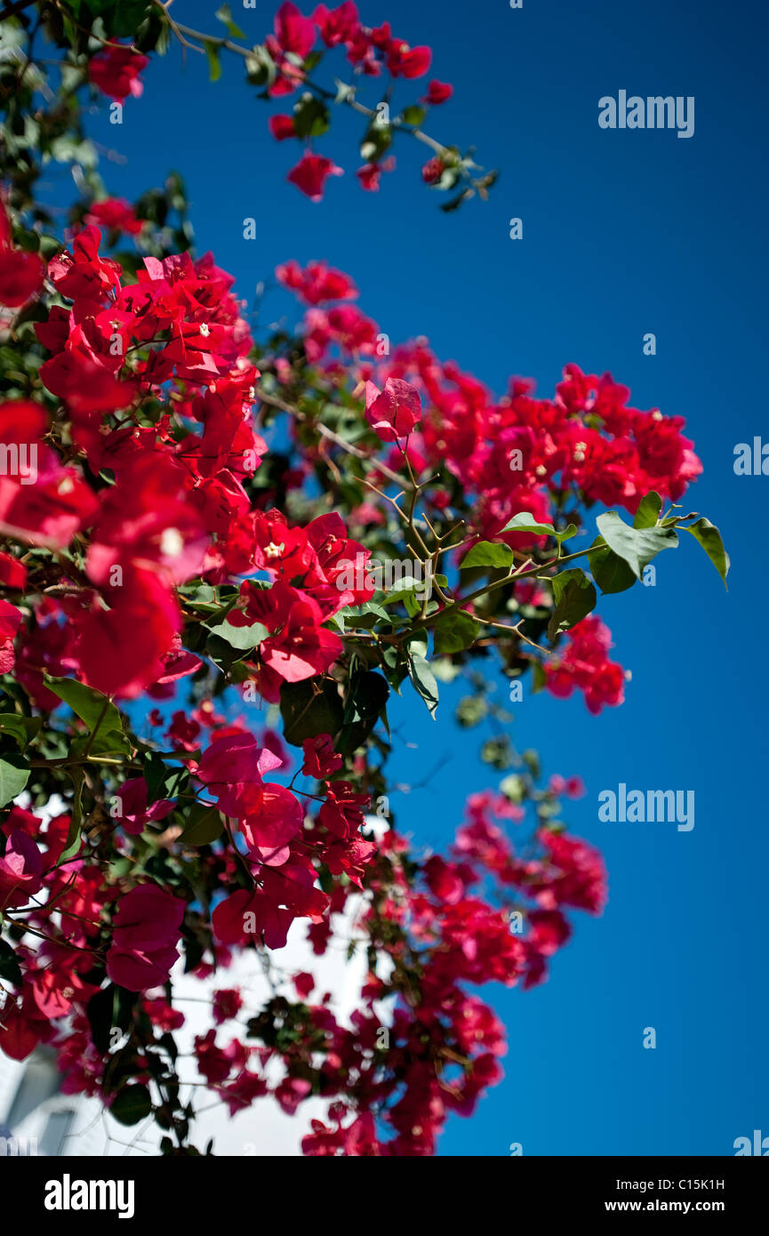 Bougainvillea, Corfu, Greece - Stock Image