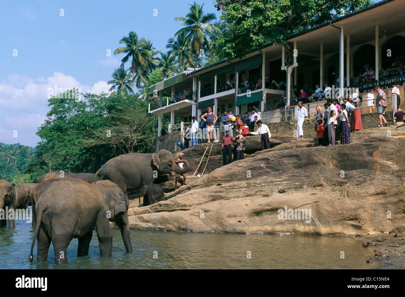 Elephants (Elephantidae) in the Maha Oya River at the elephant orphanage in Pinnawela, Sri Lanka, Asia - Stock Image