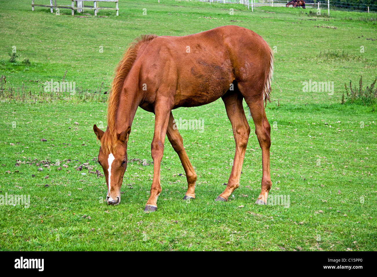 Chestnut Foal grazing in paddock - Stock Image