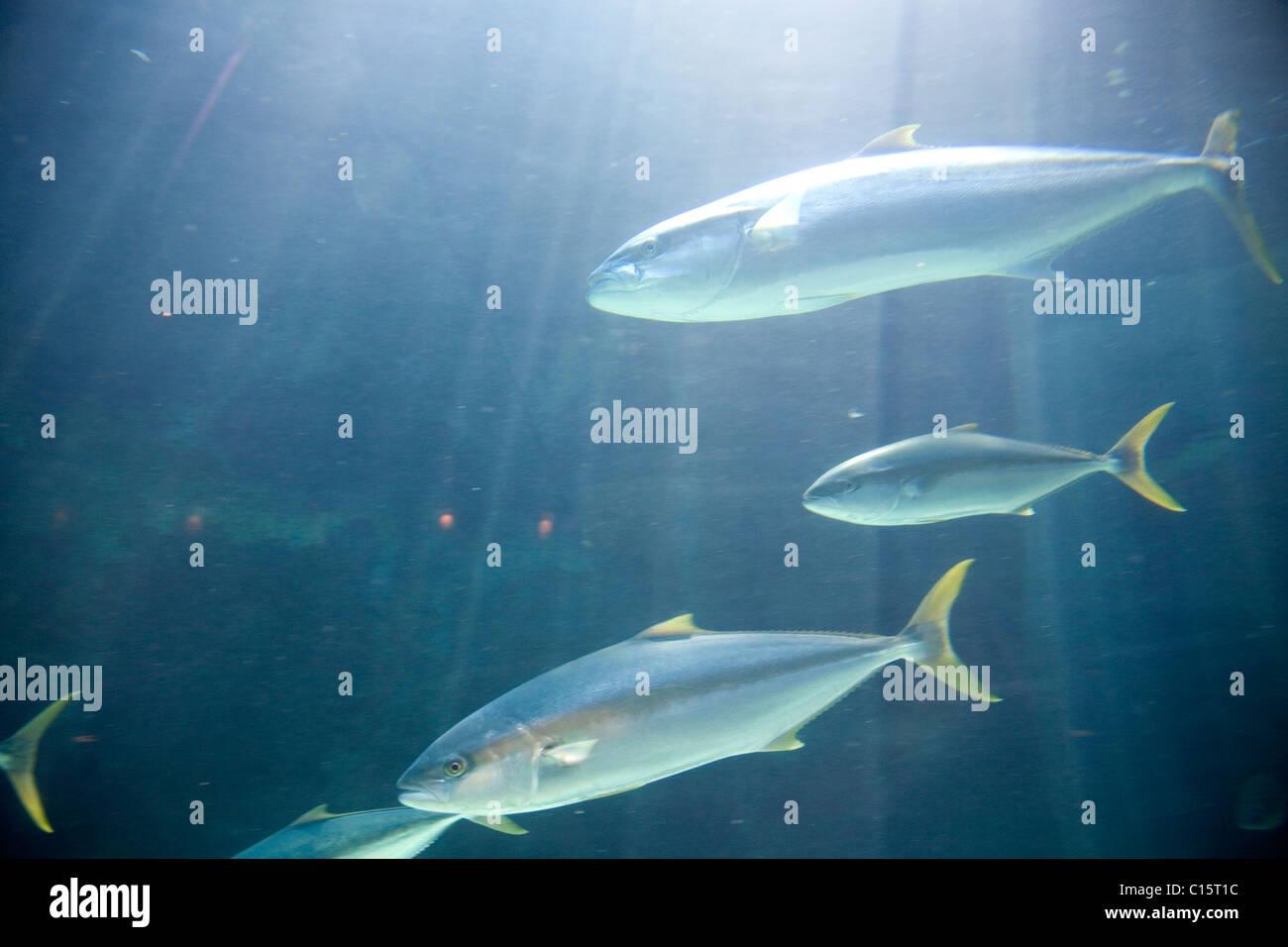 Two Oceans Aquarium - Cape Yellowtail - Stock Image