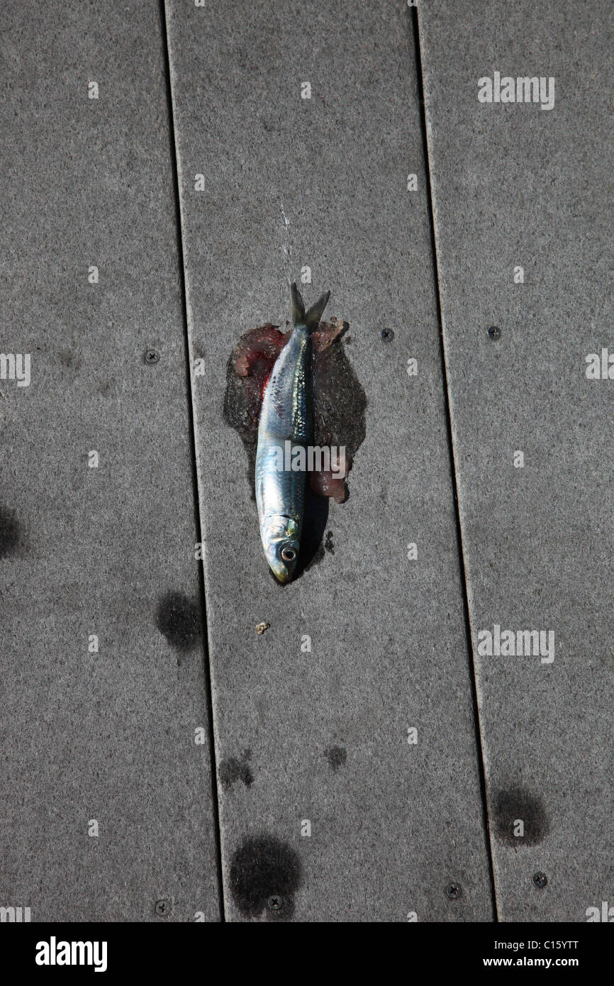 DEAD FISH DIE ON JETTY LARGE AMOUNT FISH DIE OFF REDONDO BEACH REDODNO BEACH LOS ANGELES CALIFORNIA USA 08 March - Stock Image