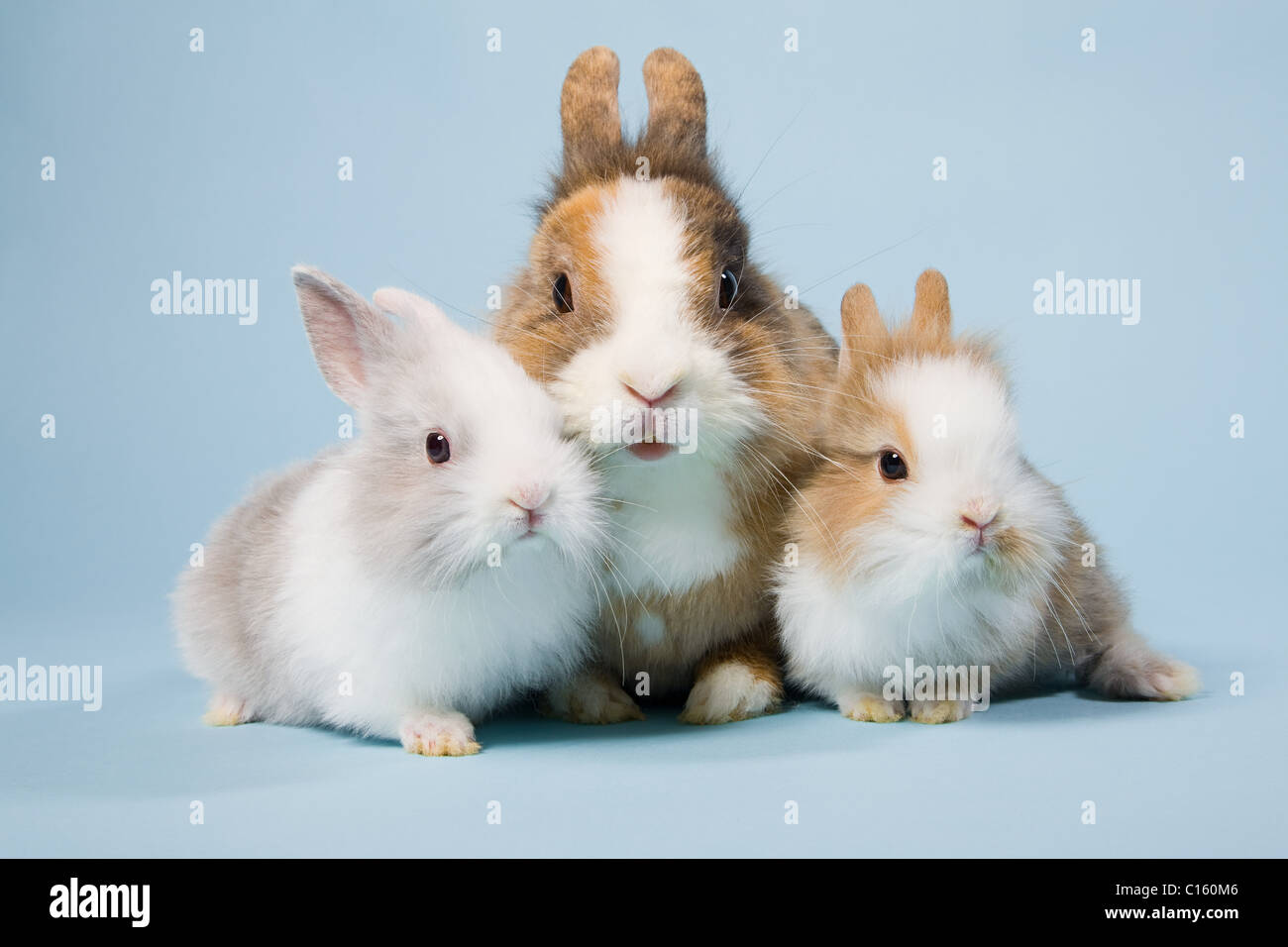 Three rabbits, studio shot - Stock Image
